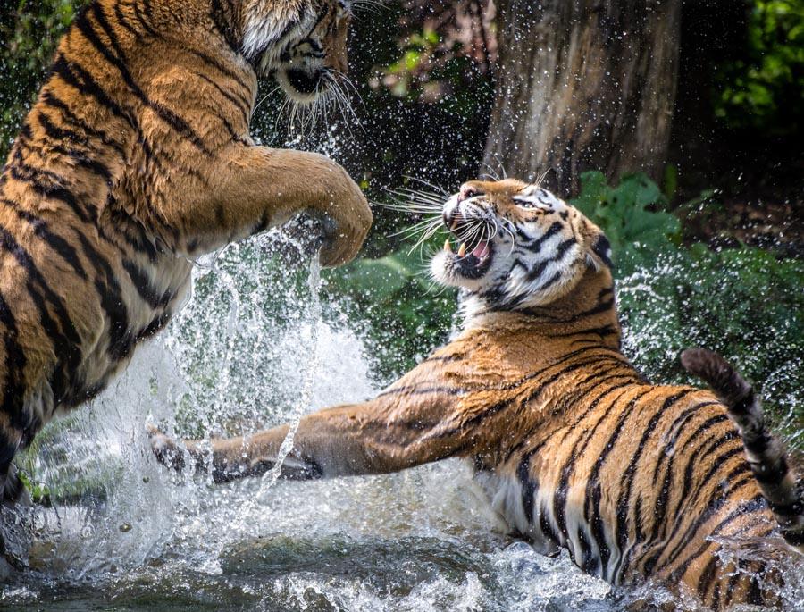 Тигры из зоопарка Вены