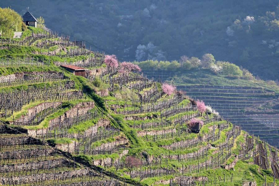 Виноградники долины Вахау в Австрии