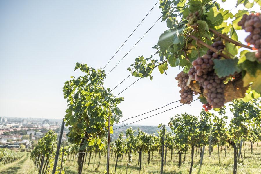 Виноградники в Вене